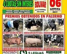 Remate De Reproductores Porcinos En Bolivar