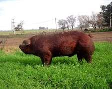 Venta De Reproductores Porcinos