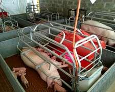 Criadero De Cerdos Y Campo