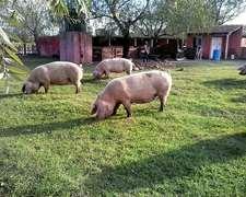 Asesoramiento Criaderos Intensivos Y Extensivos - Porcinos