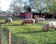 Servicio Criadero Llave En Mano - Porcinos