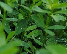 Alfalfa Tigresa